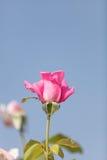 Rose de rose, Rosa, fleurs en été Images libres de droits