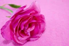 Rose de rose sur le backgound rose Image libre de droits