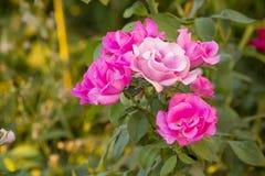 Rose de rose sur un fond brouillé Photographie stock libre de droits