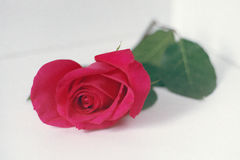 Rose de rose sur un fond clair Photo stock