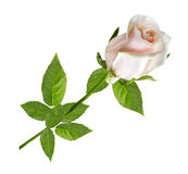 Rose de rose sur un isolat blanc Photo stock