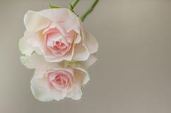 Rose de rose sur un miroir Photographie stock libre de droits