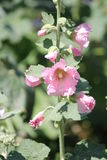 Rose de rose trémière (Alcea) Images stock