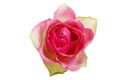 Rose de rose, vue franche. Image libre de droits