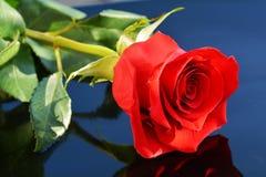 Rose de rouge à un arrière-plan bleu Photos libres de droits