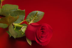Rose de rouge Images stock