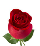 Rose de rouge Photo stock