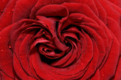 Rose de rouge Photographie stock libre de droits