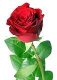 Rose de rouge Image libre de droits