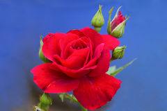Rose de rouge. Images stock
