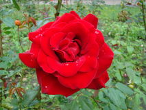 Rose de rouge après pluie photographie stock libre de droits