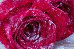 Rose de rouge au-dessus de neige Photos stock