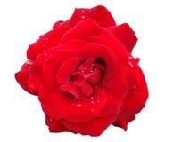 Rose de rouge avec des baisses de rosée Image stock