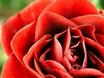 Rose de rouge avec des baisses de rosée sur les pétales Photographie stock libre de droits