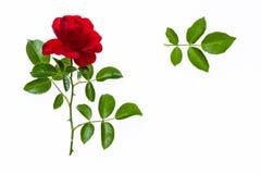 Rose de rouge avec des feuilles d'isolement sur le fond blanc Image libre de droits