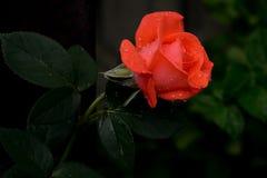 Rose de rouge avec des gouttelettes d'eau sous-exposées Images stock