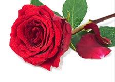 Rose de rouge avec des pétales d'isolement sur le fond blanc Images libres de droits