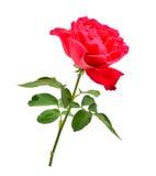 Rose de rouge avec la feuille d'isolement sur le blanc Images stock