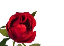 Rose de rouge avec la gouttelette d'eau de feuilles d'isolement sur le fond blanc photographie stock
