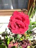 Rose de rouge avec la vie et mort Images libres de droits