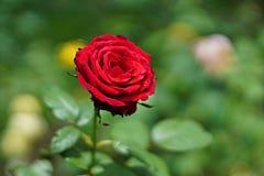 Rose de rouge avec le fond de tache floue Image stock