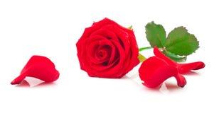 Rose de rouge avec les pétales tombés Photographie stock libre de droits