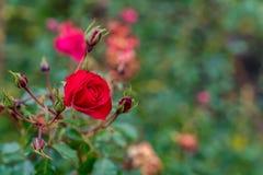Rose de rouge avec quelques bourgeons dans le jardin image stock