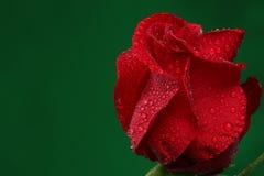 Rose de rouge avec un bon nombre de baisses de l'eau Image libre de droits