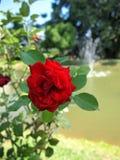 Rose de rouge/beau rouge Photo libre de droits