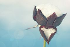 Rose de rouge couverte de neige Photo stock