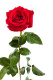 Rose de rouge d'isolement Images libres de droits