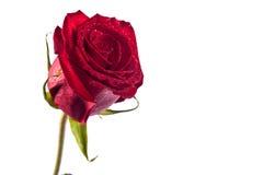 Rose de rouge d'isolement Photo libre de droits