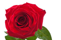 Rose de rouge d'isolement Photographie stock