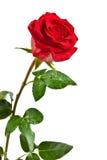 Rose de rouge d'isolement Photo stock