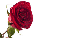 Rose de rouge d'isolement Images stock