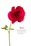 Rose de rouge d'isolement Images stock