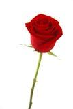 Rose de rouge d'isolement au-dessus du blanc Images libres de droits