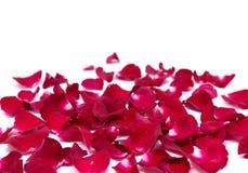 Rose de rouge d'isolement par plan rapproché sur les milieux blancs Photos libres de droits