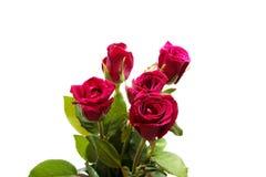 Rose de rouge d'isolement par plan rapproché sur les milieux blancs Photos stock