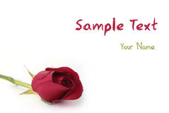 Rose de rouge d'isolement sur le blanc Image stock