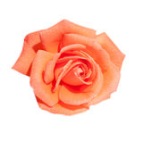 Rose de rouge d'isolement sur le blanc Photos stock