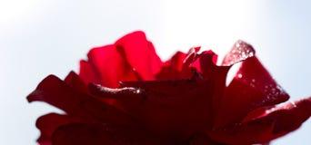 Rose de rouge d'isolement sur le blanc Le macro tir d'une rose rouge avec de l'eau se laisse tomber photos libres de droits