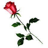 Rose de rouge d'isolement sur le fond blanc Image libre de droits