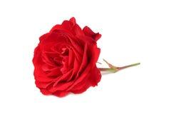 Rose de rouge d'isolement sur le fond blanc Images stock