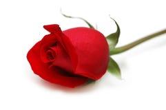Rose de rouge d'isolement sur le fond blanc Photos stock
