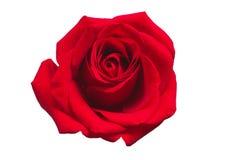 Rose de rouge d'isolement sur le fond blanc photographie stock