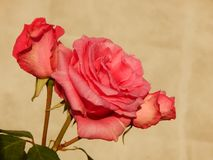 Rose de rouge dans Gheorgheni Photo libre de droits
