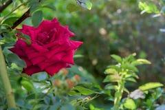 Rose de rouge dans la fin de jardin  Photographie stock libre de droits