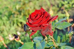 Rose de rouge dans la fleur en gros plan de fragilité de jardin photos stock
