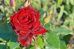Rose de rouge dans la fleur en gros plan de fragilité de jardin images libres de droits